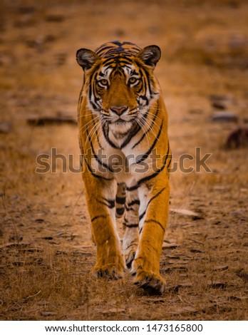 Tiger cat walk, Ranthambore, India #1473165800