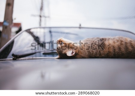 Tiger Cat wallowing on car hood and rains drops on at rainy season,focused cat face.Vintage tone