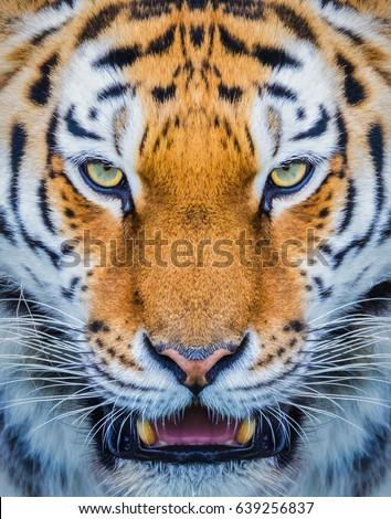 Tiger close up head shot image #639256837