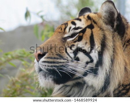 Tiger close up in zoo environment #1468589924