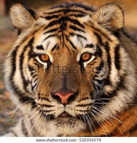 Tiger close-up of face #520356574