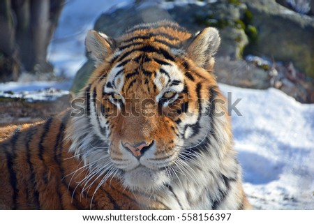 Tiger close up: The tiger (Panthera tigris) is the largest cat species. It is the third largest land carnivore (behind only the polar bear and the brown bear). #558156397