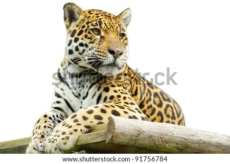 Tiger closeup, isolated on white background