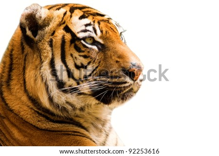 Tiger closeup - isolated on white background
