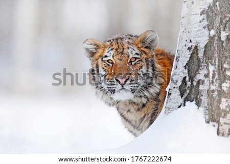 Tiger, cold winter in taiga, Russia. Snow flakes with wild Amur cat.  Tiger snow run in wild winter nature. Siberian tiger, action wildlife scene with dangerous animal. Wildlife Russia.