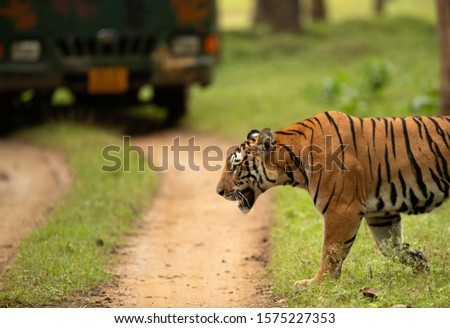 Tiger corssind the mud track infront of tourist vehicle at Kabini Tiger Reserve, India Zdjęcia stock ©