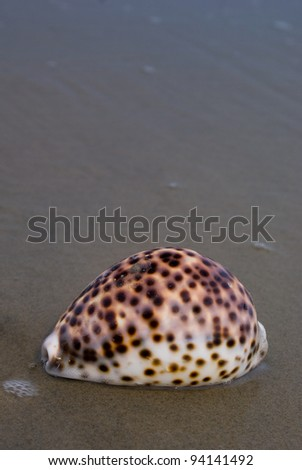 Tiger Cowrie (Cypraea tigris) on beach with wet sand.