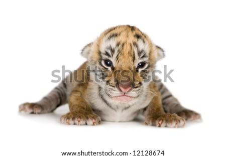 Tiger cub (4 days) in front of a white background