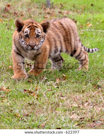 Tiger cub in action
