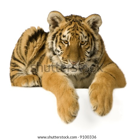 Tiger cub (5 months) in front of a white background