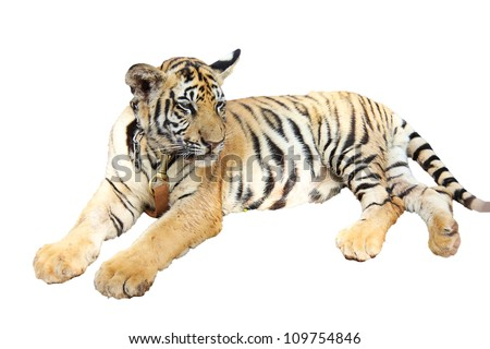 Tiger cub resting isolated