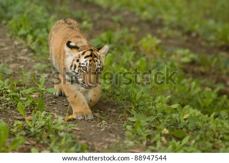 Tiger cub walking in the wild