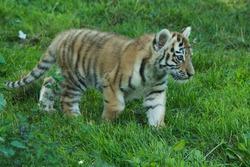 Tiger Cub walking on grass