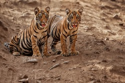Tiger cubs are sitting on the road and waiting for mum, Ranthambhore National Park in India, cute tiger siblings, urban wildlife