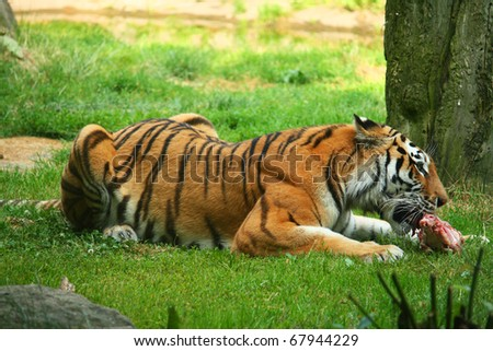Tiger Eat Meat Tiger Eating a Piece of Meat