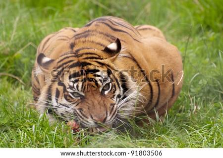 Tigers Eating Prey Tiger Eating Prey