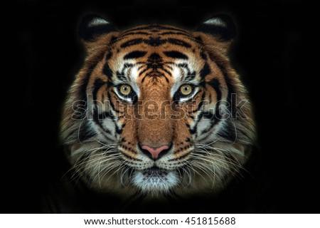 tiger face #451815688