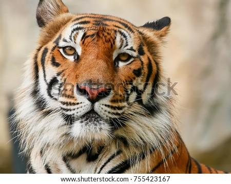 tiger face close-up #755423167