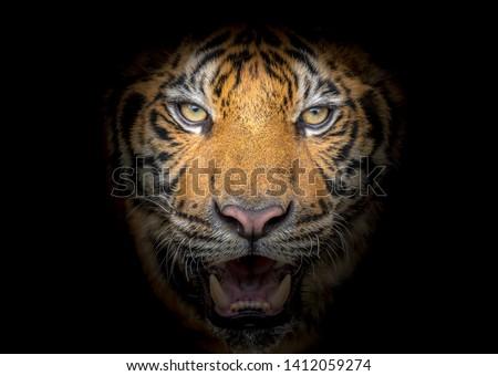 Tiger face fierce on a black background #1412059274