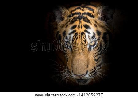 Tiger face fierce on a black background #1412059277