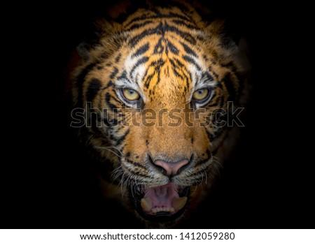 Tiger face fierce on a black background #1412059280