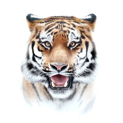 tiger face on white background