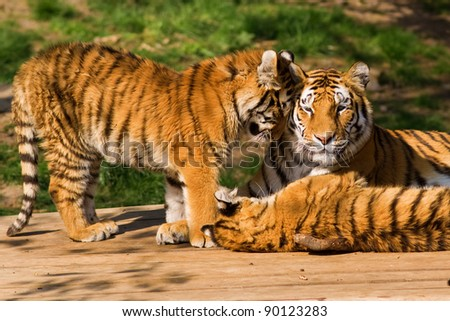 Tiger family, mother and cubs