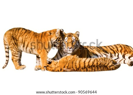 Tiger family, mother and cubs - isolated on white background - stock photo