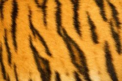 tiger fur texture (real)