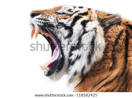 Tiger fury #518582425