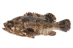 Tiger grouper fish isolated on white background.