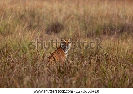 Tiger_Habitat_ Horizontal: Habitat makes all the difference to the image.  #1270650418