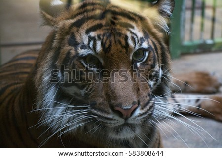 Tiger head close up. #583808644