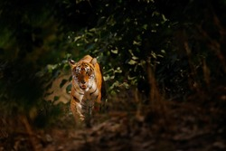 Tiger hidden in forest vegetation. Indian tiger, wild animal in the nature habitat, Ranthambore NP, India. Big cat, endangered animal. End of dry season, beginning monsoon. Tiger from Asia.