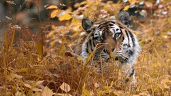 Tiger hiding in the grass