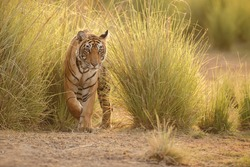 Tiger in a beautiful golden light in Ranthambhore National Park in India