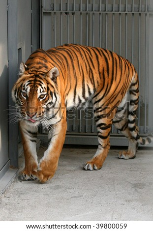 Tiger In A Cage To The Utmost Stock Photo 39800059