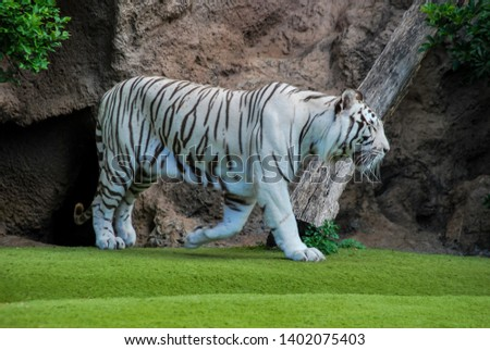 tiger in grass, beautiful photo picture