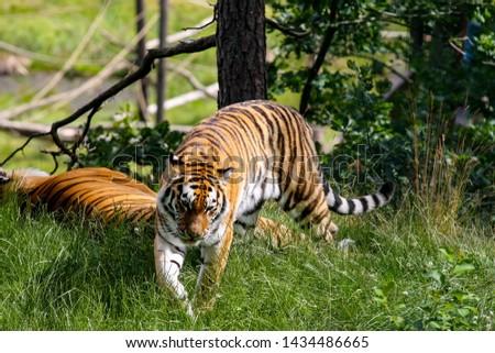 Tiger in green lush environment. #1434486665