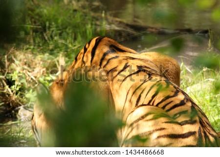 Tiger in green lush environment. #1434486668