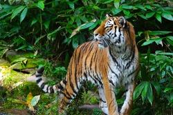 tiger in jungle