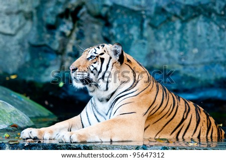 Tiger in Kaokeaw Zoo Thailand