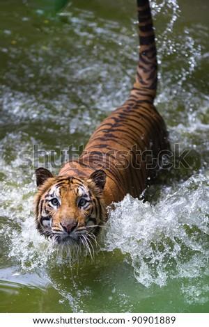 tiger in river staring at camera