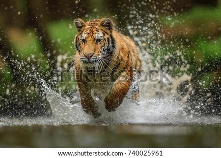 tiger in Siberia #740025961