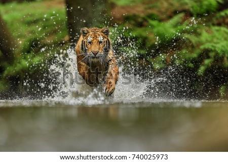 tiger in Siberia #740025973