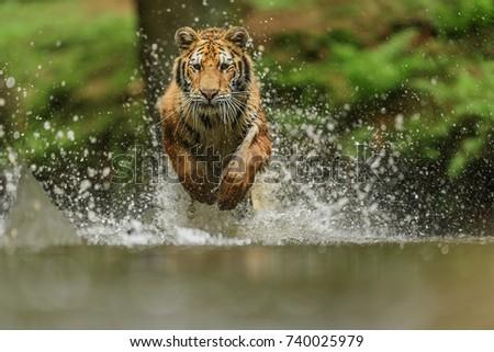 tiger in Siberia #740025979