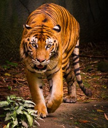 Tiger in the Chang mai zoo