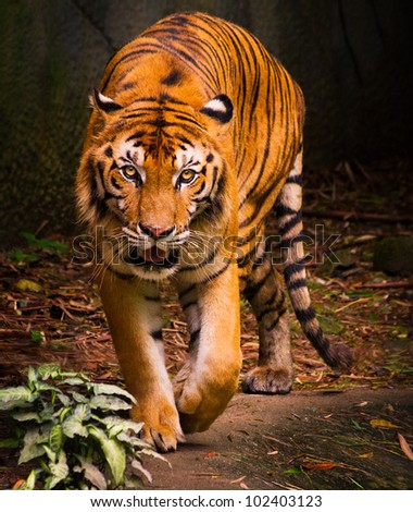 Tiger in the Chang mai zoo - stock photo