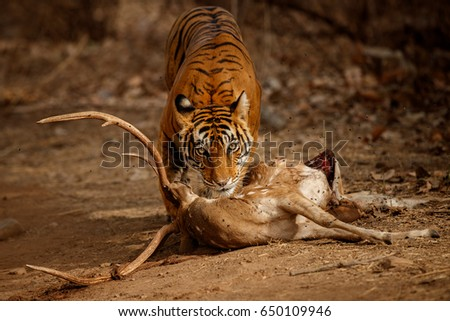 Shutterstock Tiger in the nature habitat. Tiger female with the fresh kill on the road. Wildlife scene with danger animal. Hot summer in Rajasthan, India. Dry trees with beautiful indian tiger, Panthera tigris