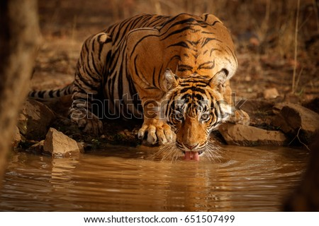 Tiger in the nature habitat. Tiger male drinking water. Wildlife scene with danger animal. Hot summer in Rajasthan, India. Dry trees with beautiful indian tiger, Panthera tigris #651507499